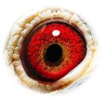 miss-safier_eye